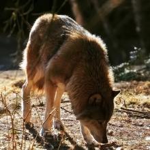 schorfheide_wolf